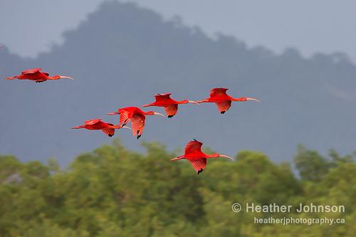 美洲紅䴉(Scarlet Ibis)。圖片作者:Heather & Mike。圖片來源:https://www.flickr.com/photos/hmj/12046024216/。本圖符合CC授權使用。