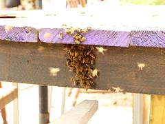 Bijen op een kluitje waar nog net de lege honingkamer stond