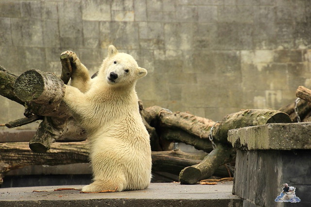Eisbär Fiete im Zoo Rostock 12.07.2015 0153