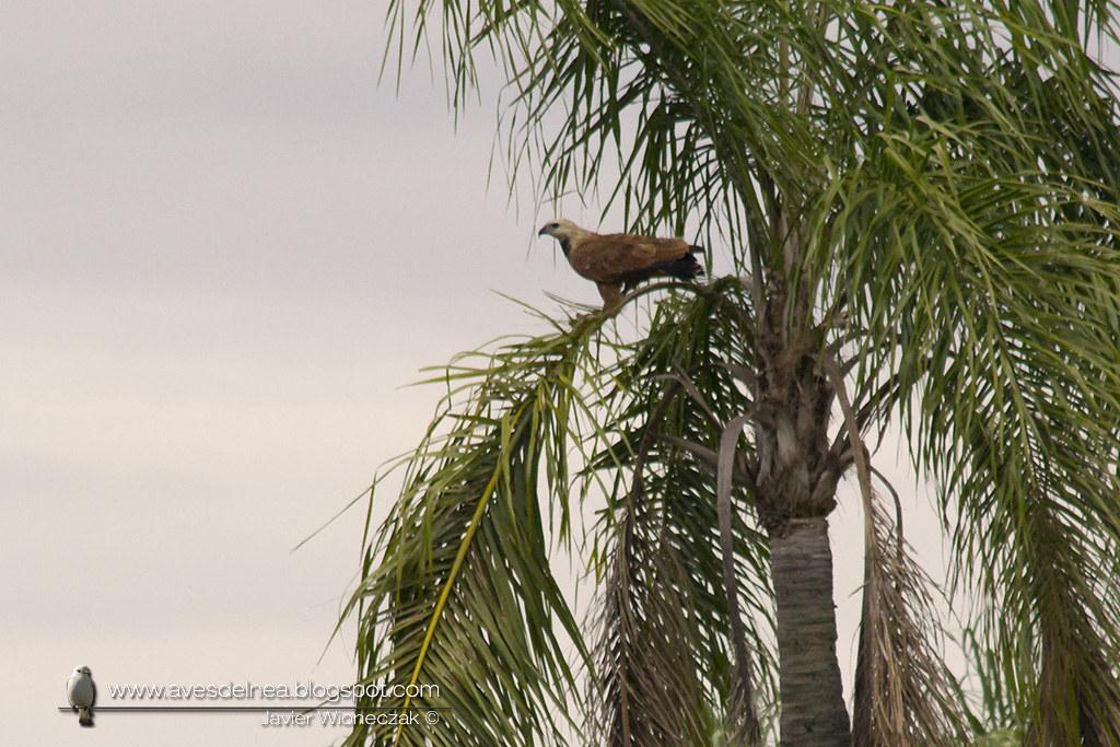 DSC_0Aguilucho pampa (Black-collared Hawk) Busarellus nigricollis602