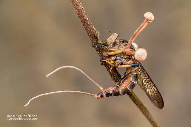 Robberfly (Asilidae) in cordyceps fungus - DSC_6243