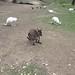 Small photo of Albino Kangaroos