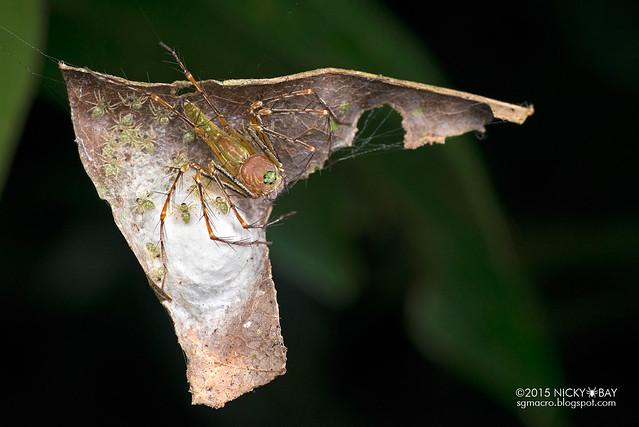 Lynx spider (Hamadruas sp.) - DSC_3934