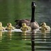 Mama Goose and her precious Goslings by ChristinaAnne.M