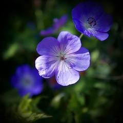 blossom(0.0), annual plant(1.0), flower(1.0), purple(1.0), plant(1.0), nature(1.0), macro photography(1.0), wildflower(1.0), flora(1.0), close-up(1.0), geraniales(1.0), petal(1.0),