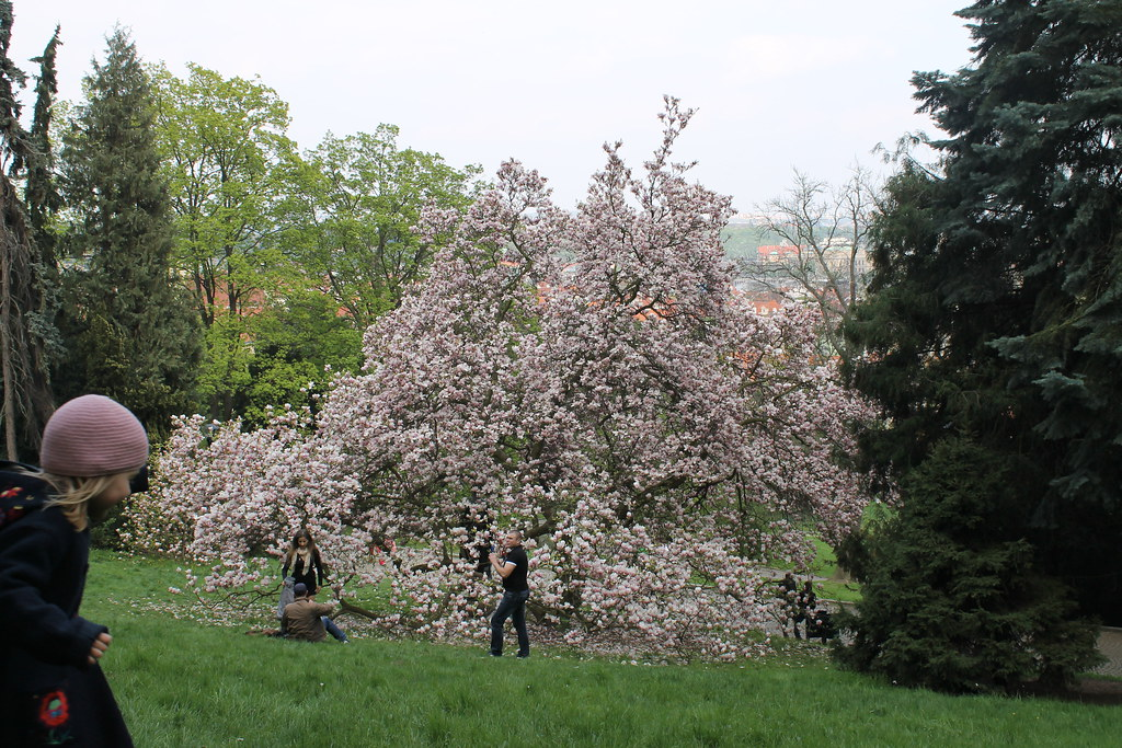 Photoshoot in front of a magnolia tree, Petřínské sady