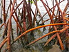 Red Mangrove roots - Rhizophora mangle