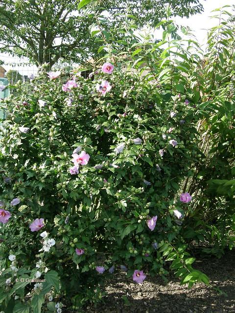 Hibiscus-Syriacus