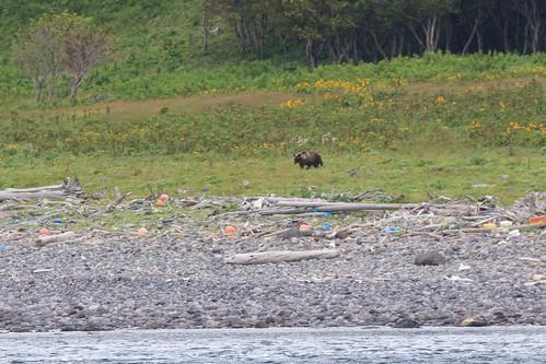 Brown bear / ヒグマ成獣