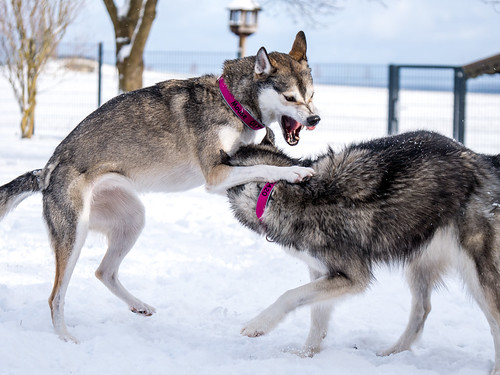 Siberian Huskies - cover