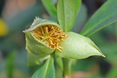 Dilleniaceae