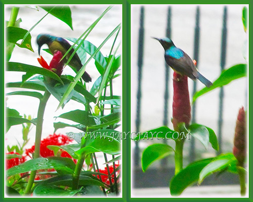 Sunbird feasting on nectar of Red Button Ginger, May 9 2015