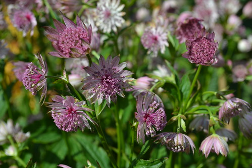 ASTRANTIA 'Good Pink'