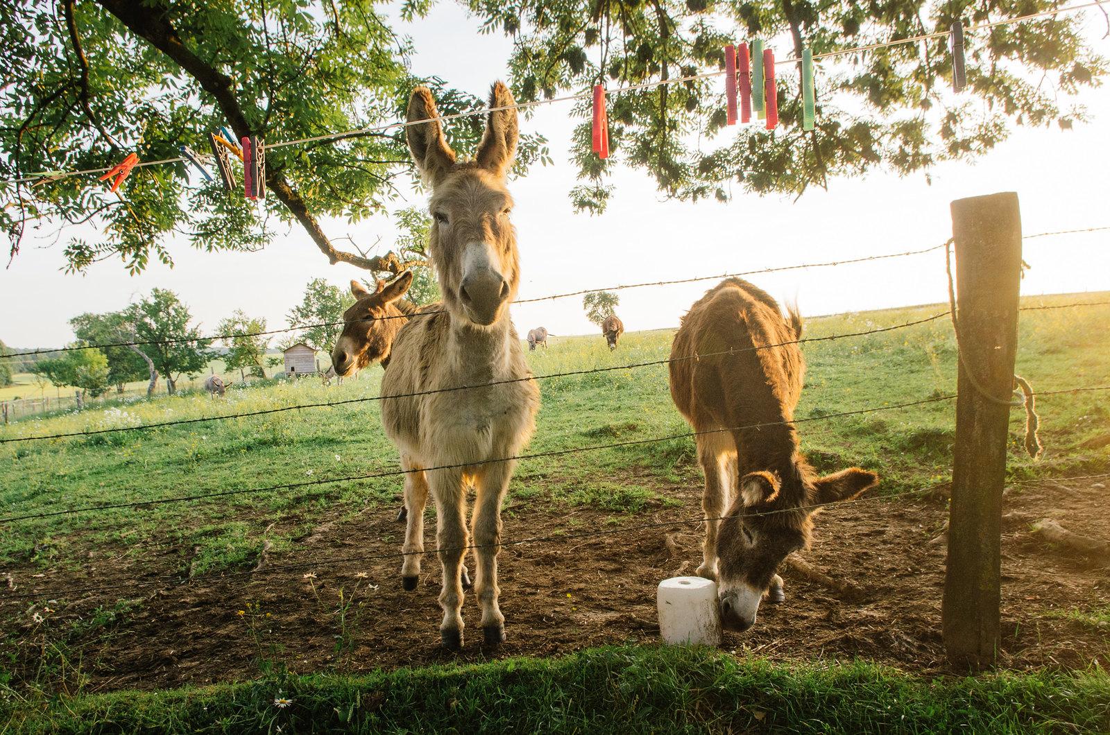 Randonner en Argonne - Balades en âne - Les ânes