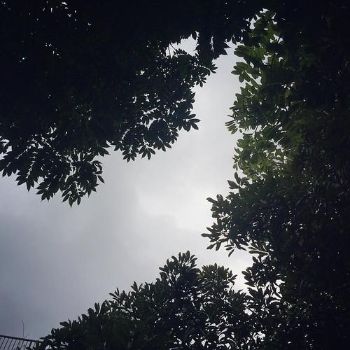 葉の隙間に雲が流れて時折ざっと降ってきます。  個人的な都合で申し訳ないのですが、今週の営業は午後5時までとさせていただきます。 いろいろ気がかりな事も多いこの頃ですが、早く帰ると昨日のように素晴らしい夕焼けが見れたりして、ほっとしますね。