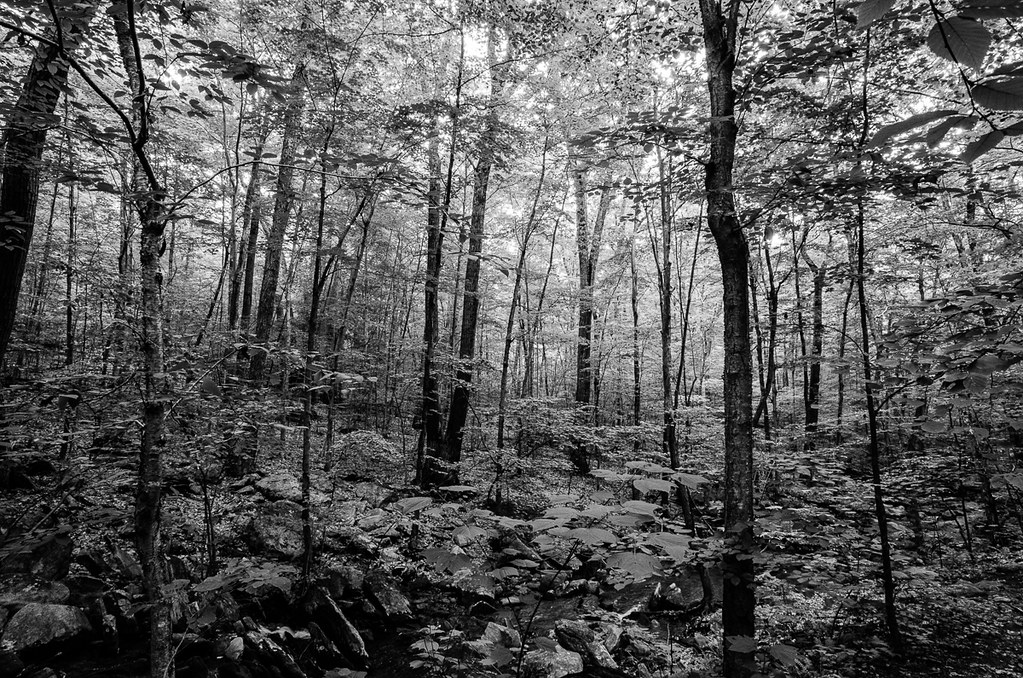 Forest near Thayer Brook