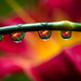 Red Lily Drops by Robin-Wilson-Off