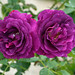 Rose twins, bright magenta by Monceau