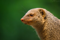 Mongoose head