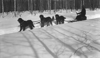 Dog team, Hazelton, British Columbia / Attelage de chiens, Hazelton (Colombie-Britannique)