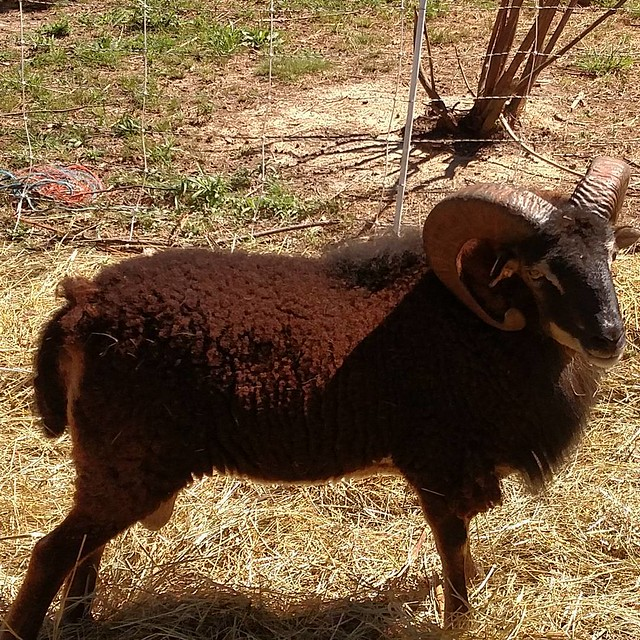 A dark mahogany brown ram with massive curling horns and distinct white eyebrow markings deliberately poses for the camera.
