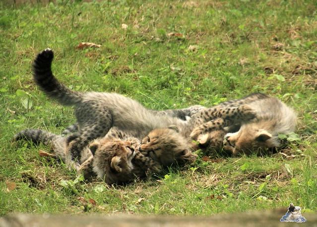 Eisbär Fiete im Zoo Rostock 12.07.2015 089