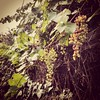 Morning neighborhood grapes... by popomohaha
