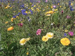 Wild flowers at the Vetch Field Allotments 7th Aug 2015 *19