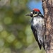 Female acorn woodpecker (Melanerpes formicivorus) 8-365 Jan-8 by mmeastman (in and out this month)
