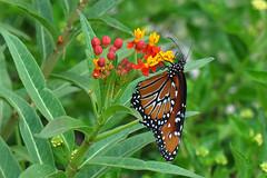 Dallas - Queen Butterfly