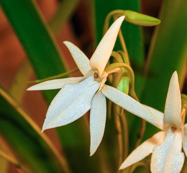 Jumellea arachnantha; Orchidaceae (2)