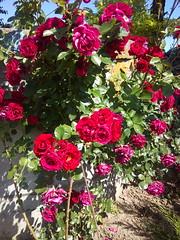 rosa wichuraiana(1.0), annual plant(1.0), shrub(1.0), garden roses(1.0), floribunda(1.0), flower(1.0), plant(1.0), flora(1.0),