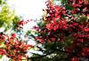 red.leaves II