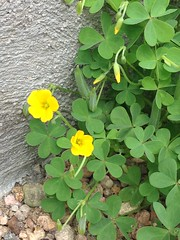 Oxalis of unknown species
