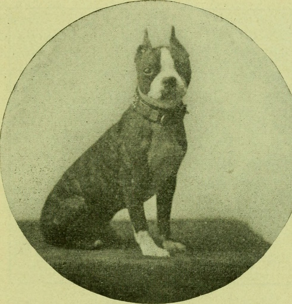 Image From Page 74 Of The Boston Terrier Its History Po Flickr