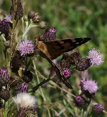Painted lady on thistles