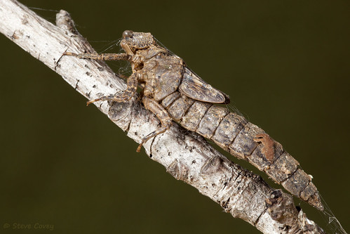 cyranodarner nasiaeschnapentacantha anisoptera aeshnidae insect dragonfly darner exuvia reynoldsnaturepreserve atlanta morrowcounty georgia usa