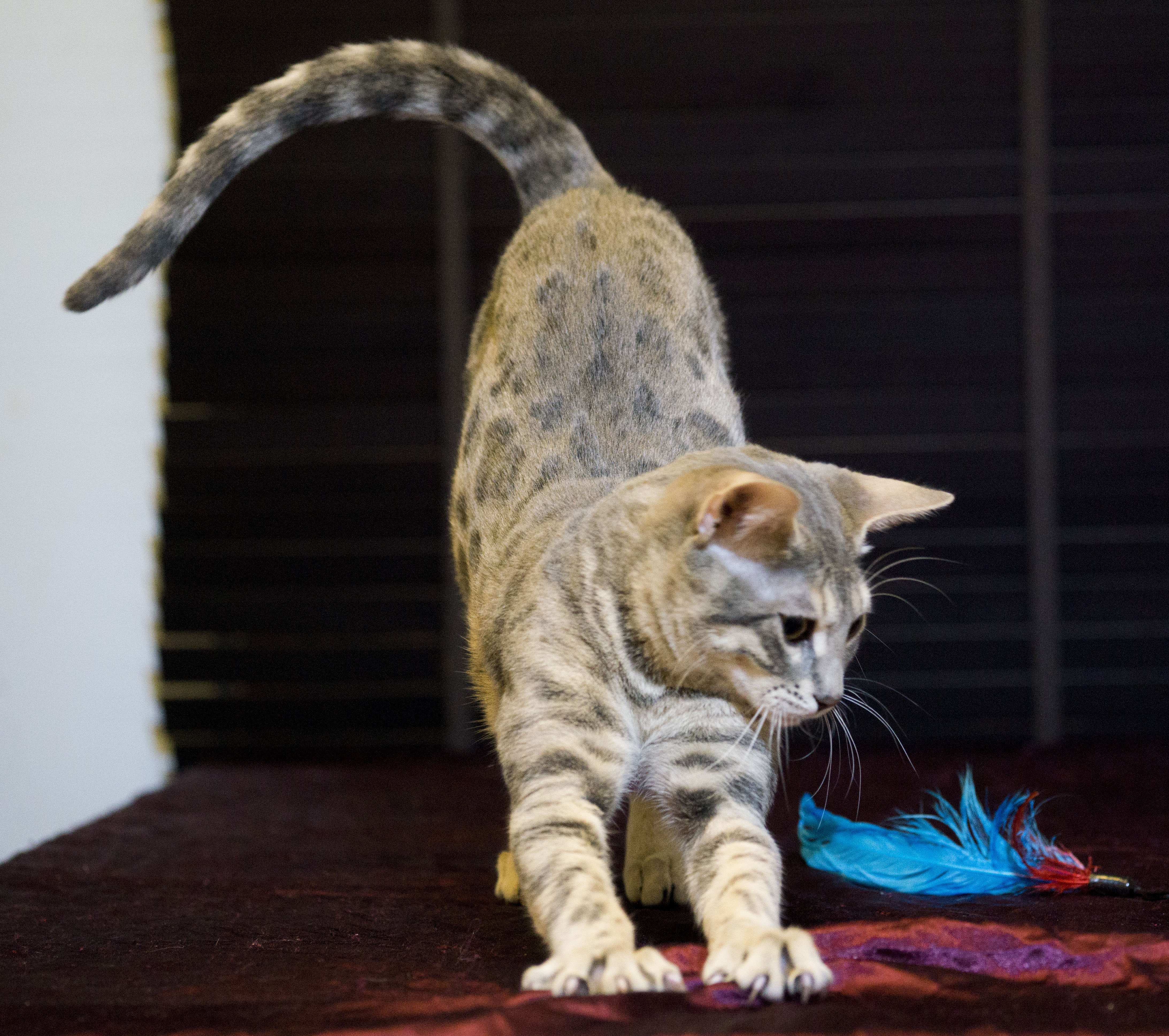 AsuraCats Kaito - Blue spotted/rosetted male Bengal