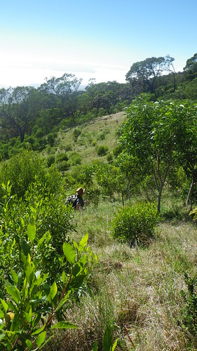 A volunteer walking through a 3 year old plot in Nakula Natural Area Reserve