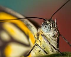 2016 butterfly album