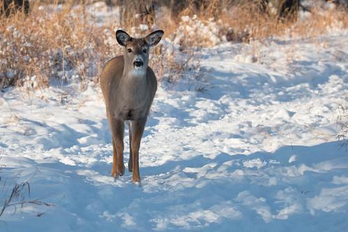 Deer fan!