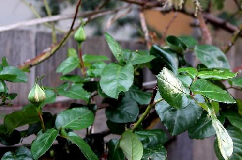 IMG 4456 Rose Buds