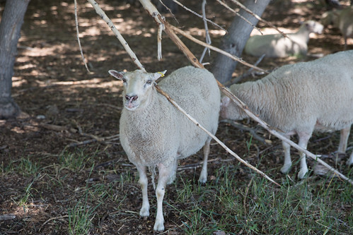 Fort Saskatchewan Sheep