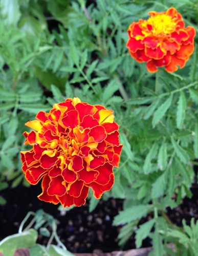 Marigolds from seed