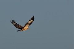 White-bellied Sea- Eagle