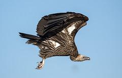 Himalayan Vulture