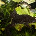 Small photo of African clawed frog