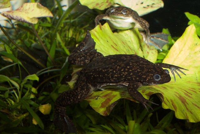 Header of African clawed frog