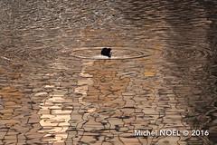 Foulque macroule Fulica atra - Eurasian Coot : Michel NOËL © 2016-7285.jpg