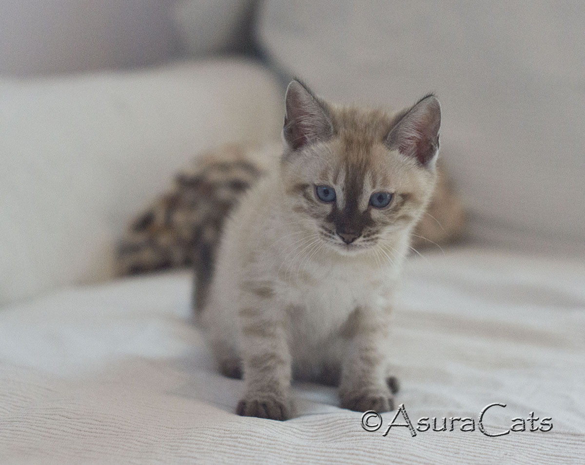 AsuraCats Blinky - Seal Lynx point snow Charcoal male Bengal kitten